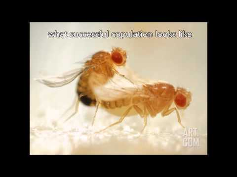 Fruit Fly Mating