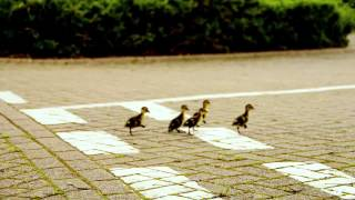 Ducklings rescued by Bird Watching magazine