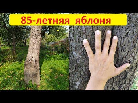 Удивительно. 85-летняя яблоня. Урожай яблок на дереве