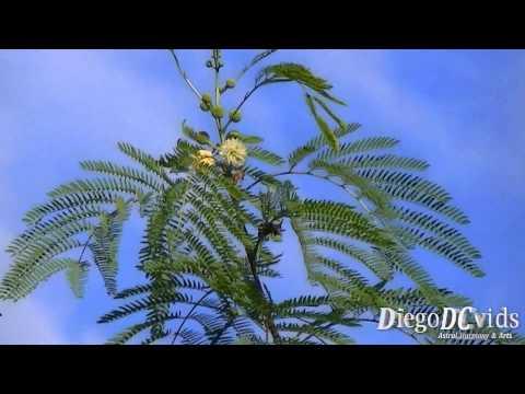 Leucaena leucocephala - Leucena - white leadtree (Mimoseae)