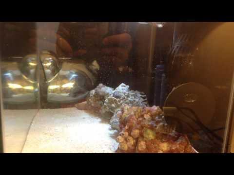 Valentini Puffer Fish Sleeping!