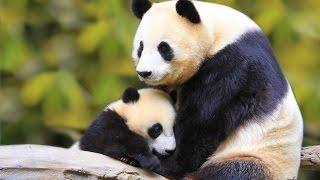 Эксклюзив: Китай. Ченду. Заповедник панд