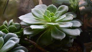 Кактусы и суккуленты после укоренения. Как себя чувствуют кактусы?