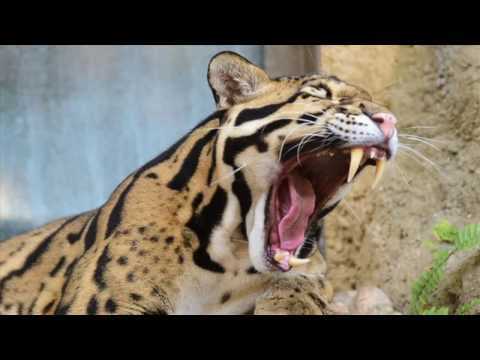 Does Taiwan Support Clouded Leopard Reintroduction?