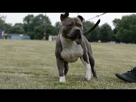 PICTURE PERFECT AMERICAN BULLY (FAN SUBMITTED)