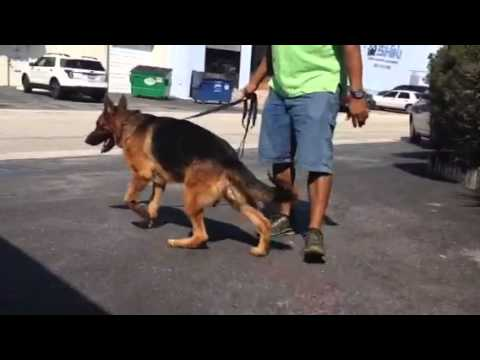 The Best German Shepherd Protection Dogs For Sale