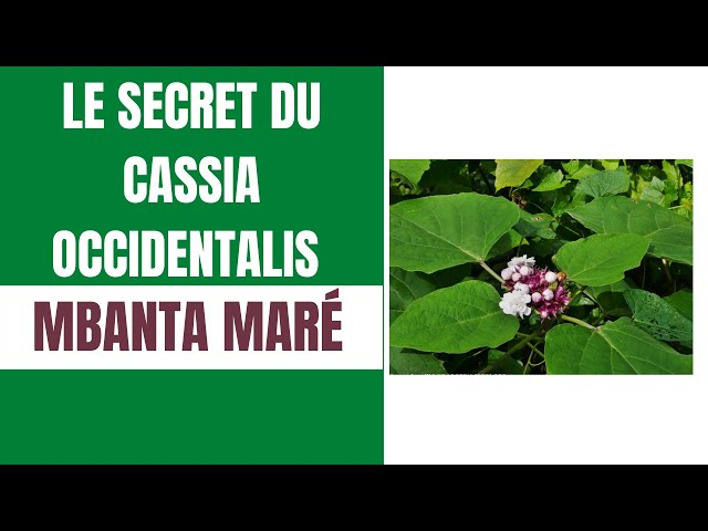 les secrets du cassia occidentalis.