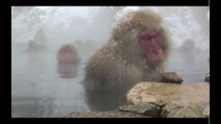 Japanese Snow Monkeys, Jigokudani thumbnail