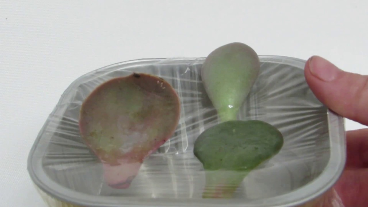 How To Propagate Succulents Leaves In Water Amazing Results Youtube