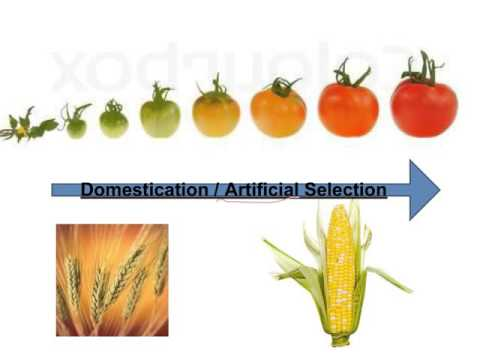 Selective Breeding Video Notes