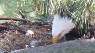 The Woodlands TX Bald Eagles - George & his 2 Eaglets - 12.27.2018