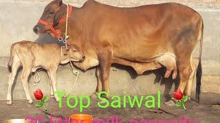 (177 )Milking video Saiwal cow 20 litter milk capacity Male caff⚘ Please