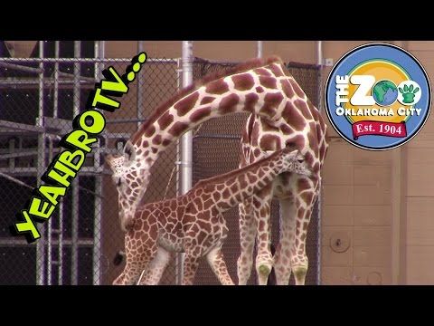 YeahBroTV at the Oklahoma City Zoo Adventues Half the OKC Zoo Baby Elephant Baby Giraffe