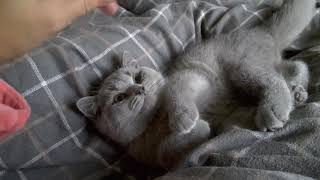 British Shorthair. Sweetheart Juno -his morning today*cattery Calmcat British
