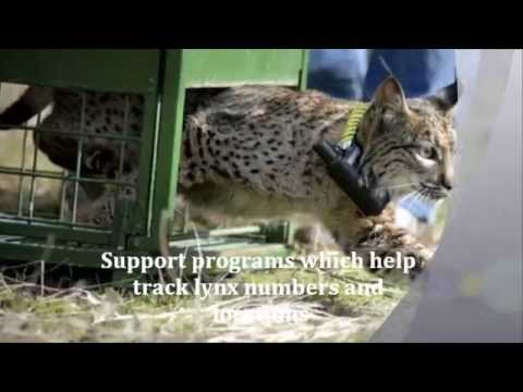 Iberian Lynx 3