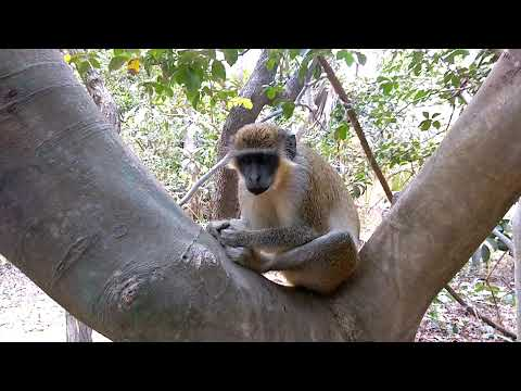 "Bijilo Forest Reserve ""Monkey Park"", Banjul, The Gambia"