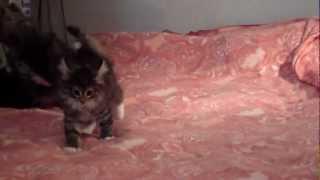 Норвежские Лесные котята.MP4