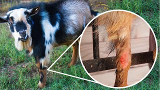 How did our goat BURN his leg?! 😢 (Winston has an injury)