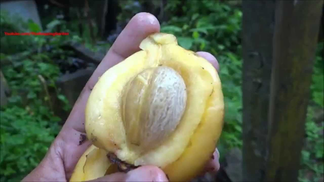 Garcinia Gummi Gutta Alchetron The Free Social Encyclopedia