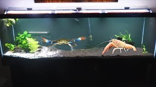 CRAB BATTLE! Giant Blue Crab VS Giant crayfish!