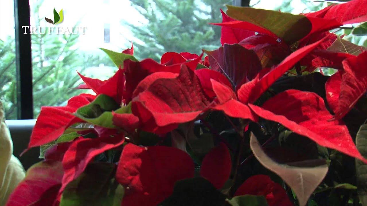 Comment Bien Entretenir Le Poinsettia L Etoile De Noel