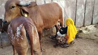 Wonderful gir cow or cow milking by village women