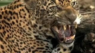 Невероятная атака Ягуара.Подборка