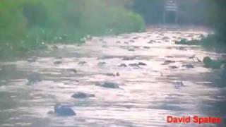 Alligator Feeding Frenzy In Georgia Okefenokee  Swamp ★DSTWD★  ( David Spates )
