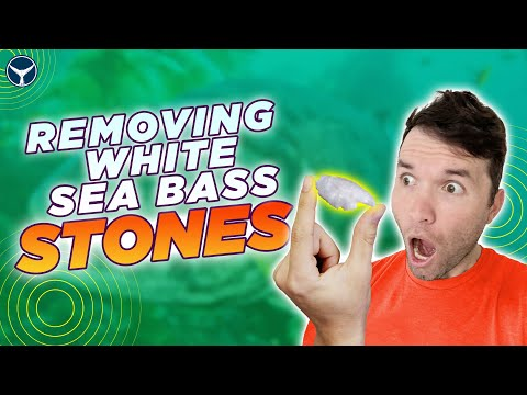 How To Remove White Sea Bass Stones | Fish Otolith Extraction
