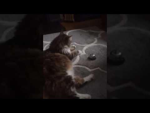 Cat Rings Bell For Service || ViralHog