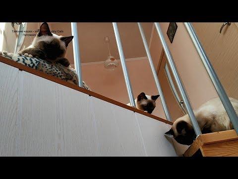 Наблюдательный пункт тайских котиков! Тайские кошки   это чудо! Funny Cats