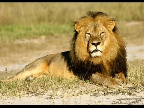 Lions On The Loose In Nairobi Again!