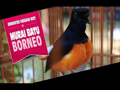 SUARA BURUNG : Komunitas Pasukan Mati Murai Borneo Gacor