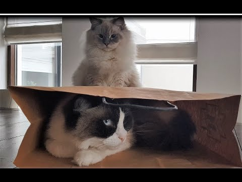 Sharing Is Scaring   (Timo the Ragdoll Cat)