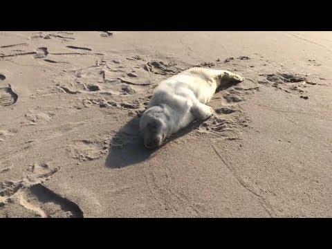 Спасение детеныша тюленя в Калининградской области