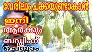how to budding a jackfruit tree പ്ലാവ് ബഡ്ഡിങ്