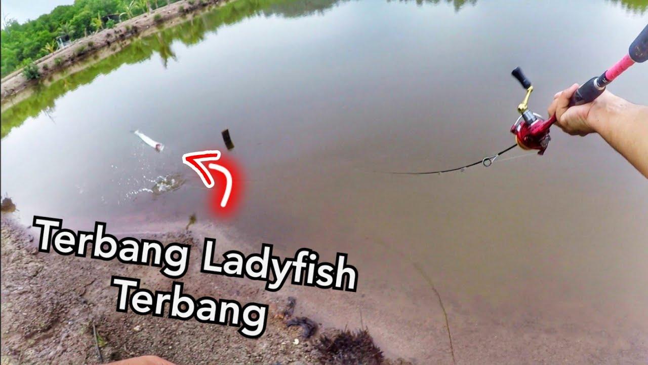 Ikan Kerapu & Ladyfish Galak Makan Gewang