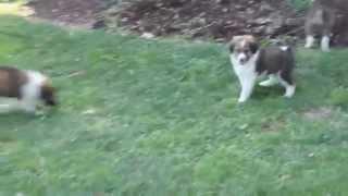 Australian Shepherd Mixed Puppies For Sale