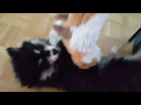 Hupsu the Finnish Lapphund IV