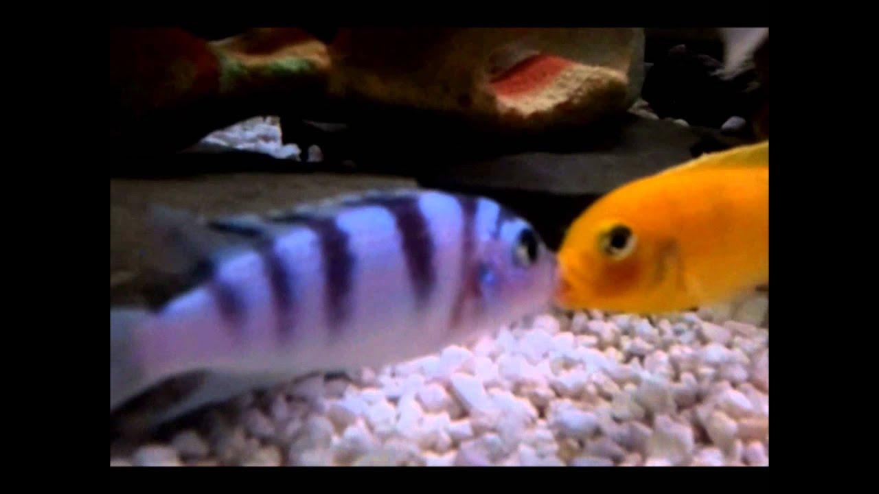 Kenyi Cichlid  Maylandia Lombardoi  Mating - Youtube-8109