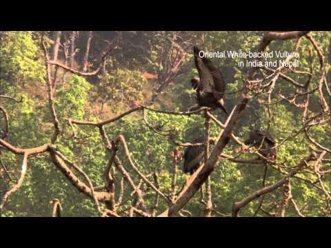 Ban diclofenac to save Vultures!