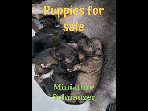 Miniature Schnauzer Puppies (for Sale)(2020)
