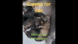 Miniature Schnauzer Puppies (for sale)(2020)