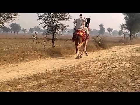 Billu galad camel riding 4