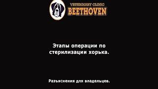 Стерилизация хорька(Этапы операции по стерилизации самки хорька. Разъяснения для владельцев. Снято в ветеринарной клинике..., 2015-11-30T17:05:48.000Z)
