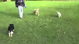 Pawsitive Dogwalks, Dog Walking At Kooyong Park, Melbourne