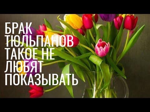 То о чем не принято рассказывать при выгонке тюльпанов. Брак