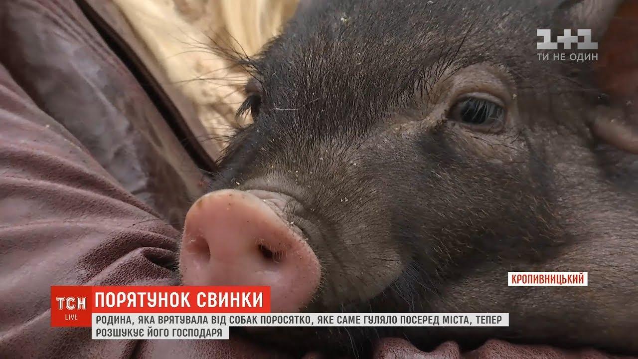 У Кропивницькому небайдужі підібрали заблукале порося, яке мало не з'їли собаки