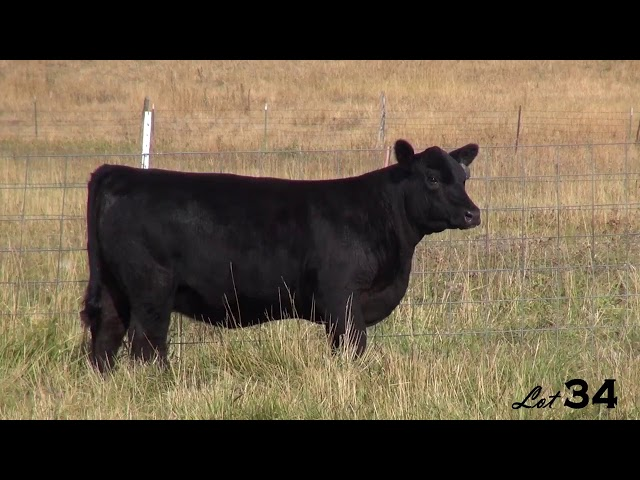 Pine Coulee Angus Lot 34