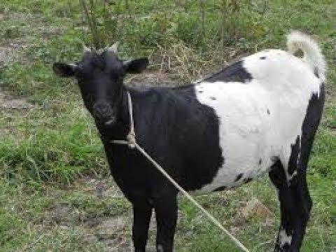 ಕುರಿ ಸಾಕಾಣಿಕೆಯ  ರೈತರಿಂದ ....Goat Farming Aadu Sakane Meke sakane